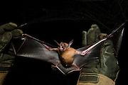 Lesser Bulldog or Fishing Bat (Noctilio albiventris) CAPTIVE<br /> Iwokrama Forest Reserve<br /> GUYANA<br /> South America