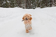 Doodle puppy running with a stick