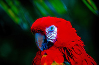 Scarlet Macaw (Ara Macao), (parrot), The Garden of Eden, Hana Highway, Maui, Hawaii