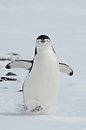 Chinstrap Penguin (Pygoscelis antarcticus ) walks in  Aitcho Islands, a group of islands at the northern entrance to the English Strait.