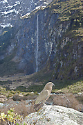 A kea basks in the sun in front of a waterfall in Mount Aspiring National Park, New Zealand