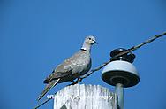01078-00109 Eurasian Collared-Dove (Streptopelia decaocto) Marion Co.  IL