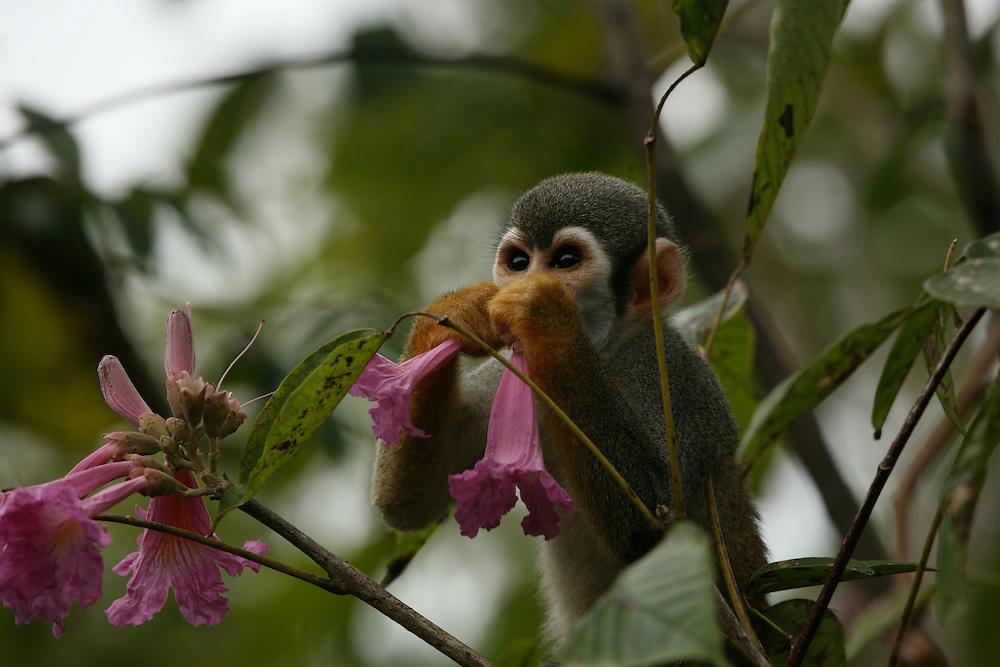 Feb 17th 2006, Ariau (near Manaus)..Saimiri monkey (Macaco da Mao de Ouro-Golden hand Macaco). ©Daniel Beltrá/Greenpeace