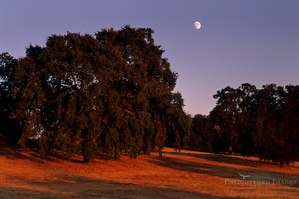 Moonrise at sunset over oak tree, Twisted Oak Vineyards, Murphys, Calaveras County, California