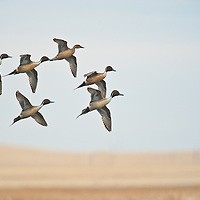 northern pintail courtship flight, wings open, above eye level