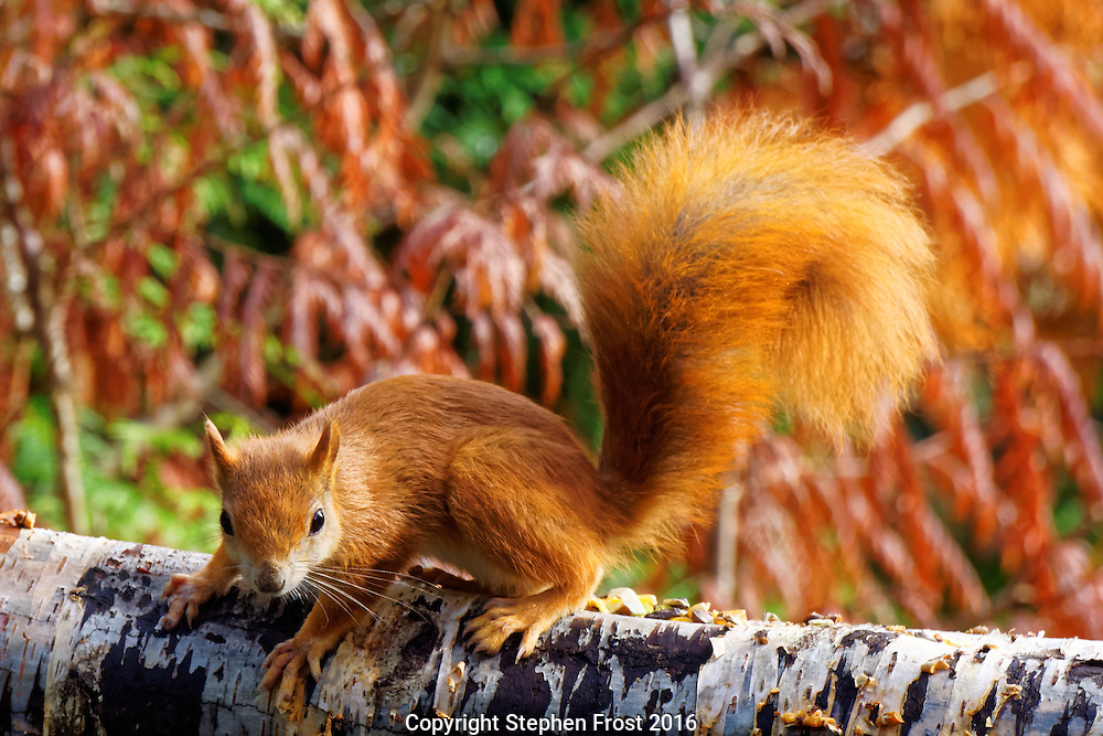 This red squirrel or Eurasian red squirrel (Sciurus vulgaris) is found in Europe and Asia.<br />  In Great Britain, numbers have decreased drastically due to competition from the larger grey squirrel, so it is a rare and popular sight in the wild.