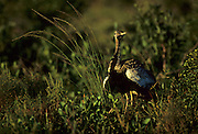 Black-bellied korhaan or Black-bellied bustard (Lissotis melanogaster). Males put on an elaborate courtship display and may mate with several females in its range.