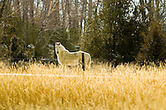 White Horse, (Equus caballus), Paradise Valley, south of Livingston, Montana