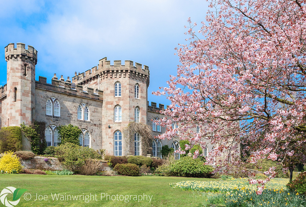 A cherry tree blossoms and  daffodils bloom, creating a perfect spring image, in the gardens of Cholmondeley Castle, Cheshire.