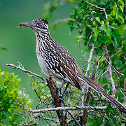 A roadrunner in green spring habitat on a South Texas Ranch.