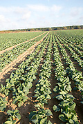 Lines of cabbages growing in rows in field, Wantisden, Suffolk, England, UK