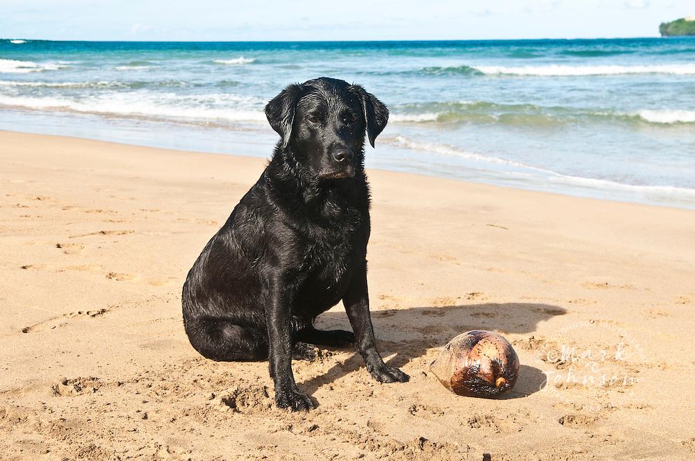 Black labrador retriever with his coconut, Kauai, Hawaii