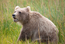 North American brown bear / coastal grizzly bear (Ursus arctos horribilis) cub sits in a field, Lake Clark National Park, Alaska, United States of America