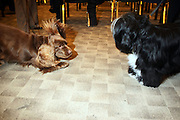 l to r: Twiglet the Sussex Spaniel and Sydney the Tibetan Terrier at The133rd Westminister Kennel Club Dog Show Press Conference announcing The Dogue De Bordeaux debut at the Westminister Kennel Club Dog Show held at the Pennsylvania Hotel Sky Top Ball Room on February 5, 2009 in New York City