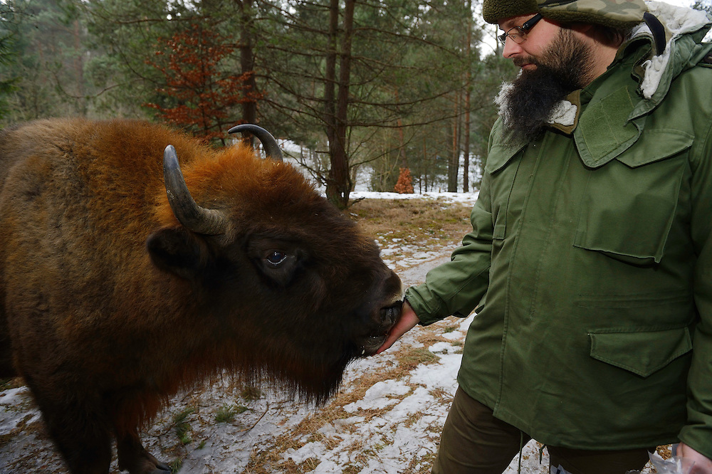 Marcin Grzegorzek feeding apples to wild European bison, Bison bonasus, Drawsko Military area, Western Pomerania, Poland