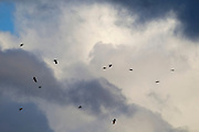 A dozen American crows (Corvus brachyrhynchos) fly past a stormy cumulonimbus cloud over Bothell, Washington.