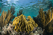 Coral reef<br /> Ambergris Caye<br /> Belize<br /> Central America