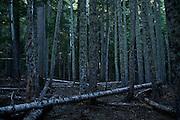 Mount Rainier park forest at dusk.