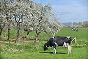 Nederland, Bemmel, 19-4-2015Fruitbomen, boomgaard in de Betuwe in bloei. Takken vol bloesem.Koeien staan buiten in de wei.Foto: Flip Franssen/Hollandse Hoogte