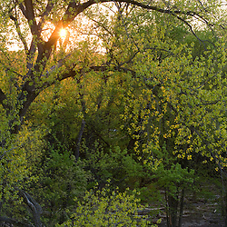 The early morning sun shines through the branches of a silver maple on the Connecticut River in Hoilyoke, Massachusetts.