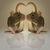 A rat and it's reflection