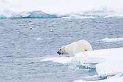 A male polar beer enters the ocean from sea ice, off the coast of Spitzbergen, Svalbard, Norway.