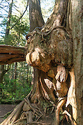 Spruce Tree of the Olympic Peninsula in Washington State