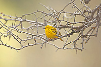 A female Yellow Warbler sits in early spring in a Russian olive tree you can tell it is a female by the olive colored flanks.