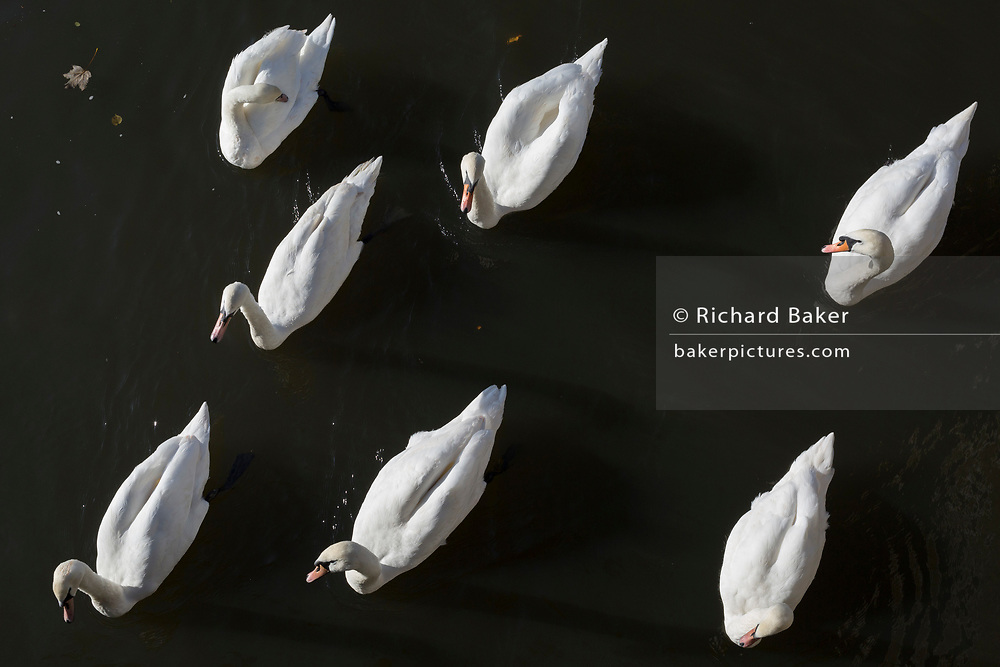 A 'ballet' of mute swans paddle along the Thames riverbank at Kingston, on 7th November 2019, in London, England