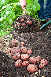 Harvesting maincrop potatoes