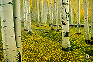 aspen trees in fall color, Maroon Bells-Snowmass Wilderness, Colorado