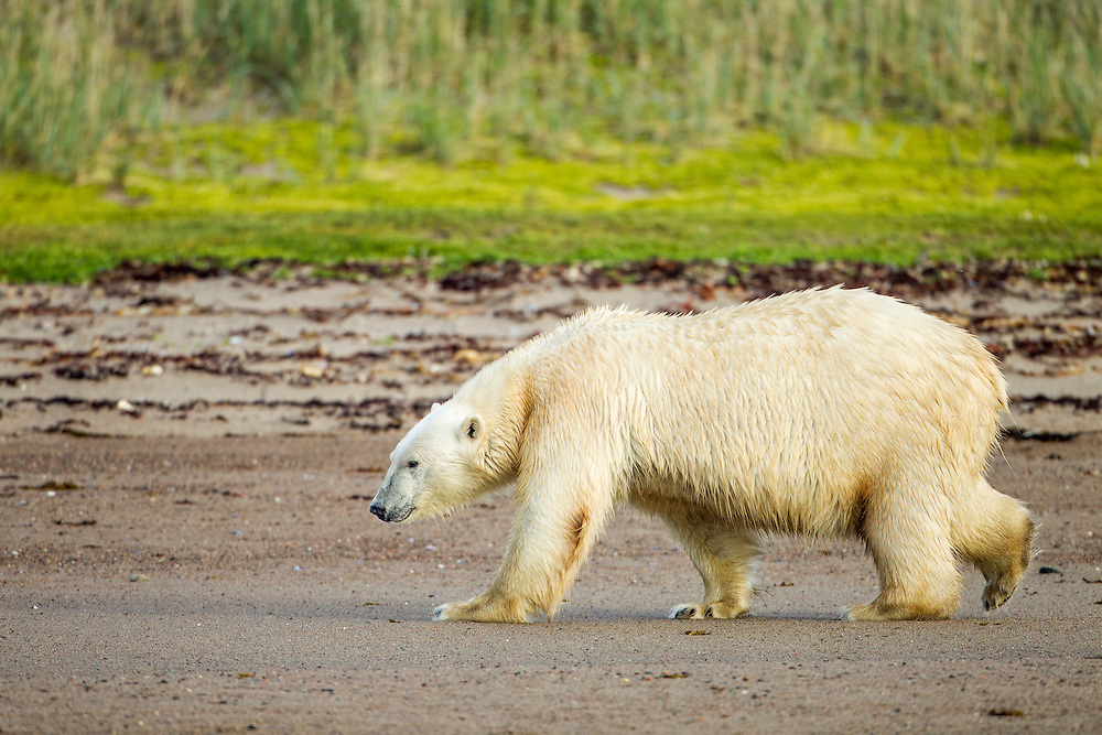Canada, Nunavut Territory, Arviat, Polar Bear (Ursus maritimus) walking along sand-covered shoreline of Sentry Island along Hudson Bay