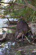 North American Beaver<br /> Castor canadensis<br /> On dam<br /> Martinez, CA