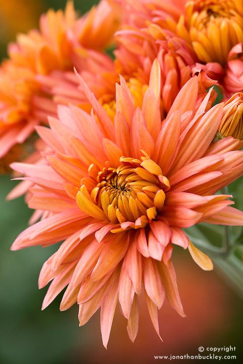 Chrysanthemum 'Salmon Shoesmith'
