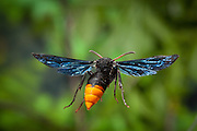 Potter Wasp, a female of the genus Anterhynchium, Photographed in Matobo National Park, Zimbabwe. © Michael Durham / www.DurmPhoto.com