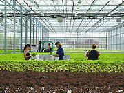 Mange østeuropeere arbeider i norsk landbruk, også på Frosta. Frosta Grønt AS, veksthusbedrift med agurk og salat i Frosta kommune, N-Trøndelag.