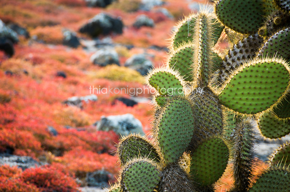 Cactus with red foliage/suculents in the background, Galapagos Islands