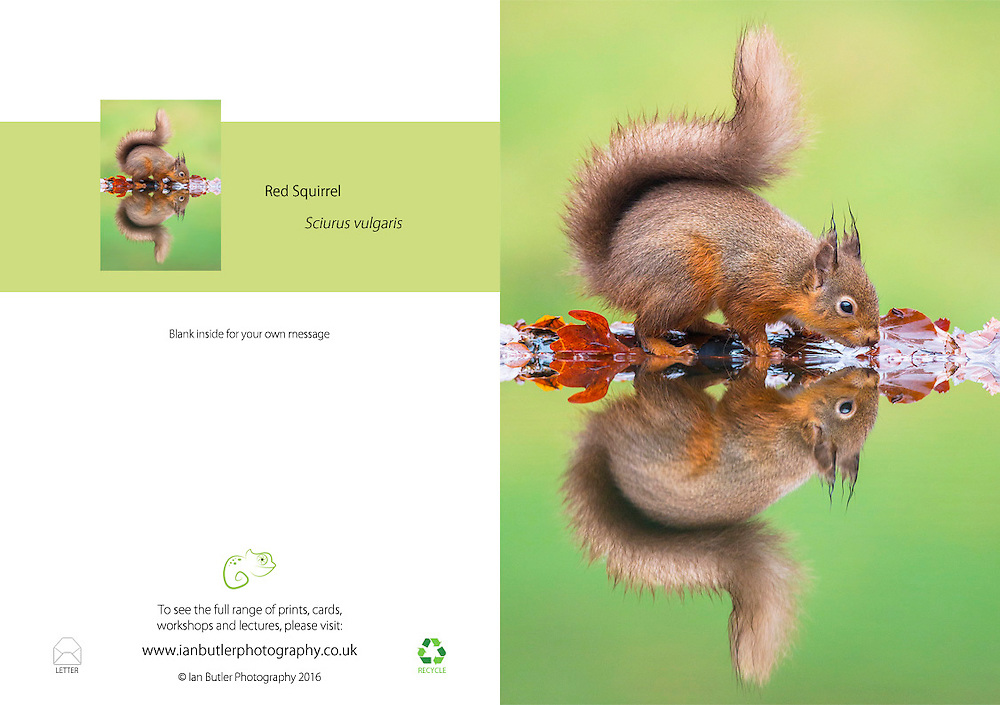 Red Squirrel Sciurus vulgaris A5 Greeting Card with Peel and Seal White Envelope