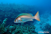 dog snapper, Lutjanus jocu, Eagle Ray Canyon, Ambergris Caye, Belize, Central America ( Caribbean Sea )