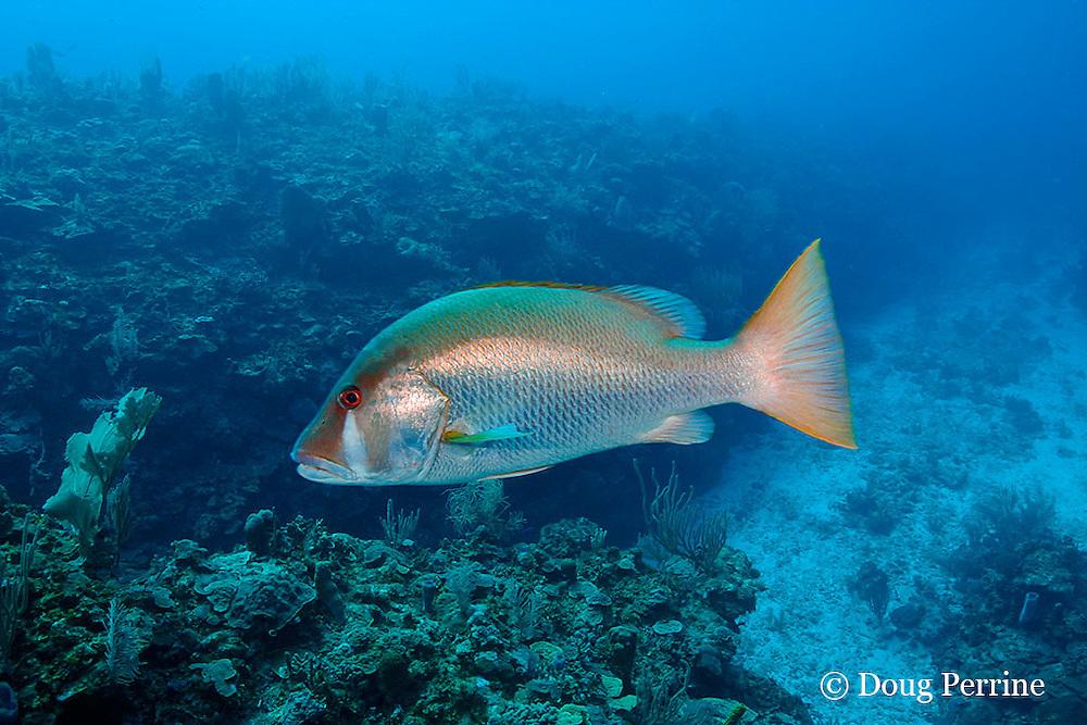 dog snapper, Lutjanus jocu, Eagle Ray Canyon, Ambergris Caye, Belize, Central America ( Caribbean Sea )