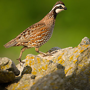 Bobwhite Quail on a stone fence at Shaker Village at Pleasant Hill, Ky., on Wednesday, May 29, 2013. Photo by David Stephenson