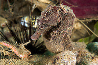 Moluccan Seahorse<br /> <br /> shot in Indonesia