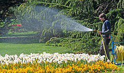 ©Licensed to London News Pictures 14/04/2020  <br /> Greenwich, UK. A gardener watering the daffodils. Sunny weather in Greenwich park, Greenwich, London as people get out of the house from coronavirus lockdown to exercise. Photo credit:Grant Falvey/LNP
