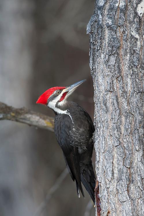Pileated Woodpecker (Dryocopus pileatus) on a tree, Lee Metcalf National Wildlife Refuge