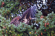 A juvenile bald eagle (Haliaeetus leucocephalus) gets ready for its first flight by testing its wings and hopping from branch to branch about 20 feet from its nest in a tall Douglas Fir tree in Kirkland, Washington. At the time of this image, the young eagle was about 10 weeks old.