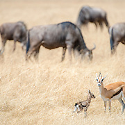 A young fawn Thomson's gazelle and its mother in the foreground with wildebeest grazing in the background at Ngorongoro Crater in the Ngorongoro Conservation Area, part of Tanzania's northern circuit of national parks and nature preserves.