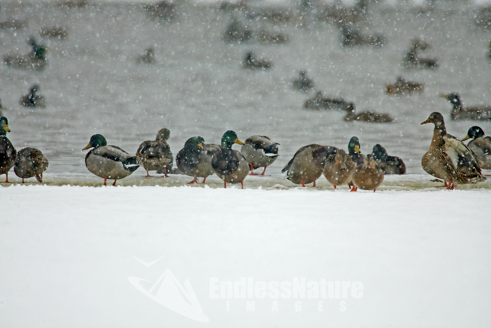 Drake and Hen Mallard ducks sit on the edge ice of a pond waiting out a winter snowstorm.