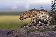 Leopard on a kopje (rock outcropping).  Serengeti National Park, Tanzania