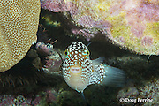 Hawaiian whitespotted toby or white-spotted puffer, Canthigaster jactator ( Hawaiian endemic species ), Kahaluu Beach Park, Kona, Hawaii ( Central Pacific Ocean )