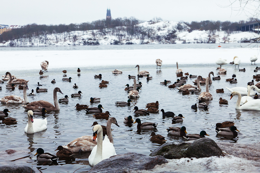Swans and the ducks at the frozen Mälaren, Riddarfjärden lake in Stockholm.  Photo was taken from Kunghsholmen with the island of Södermalm in the background